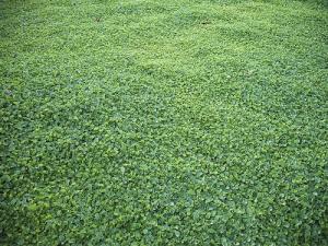 فروش بذر چمن دایکوندرا